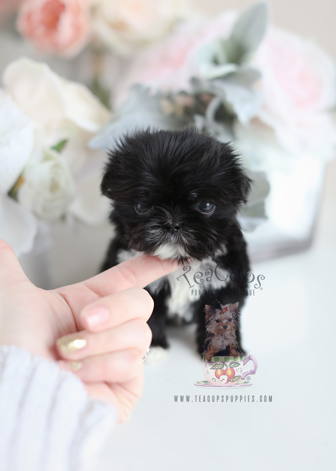 Black Shih Tzu Puppy For Sale