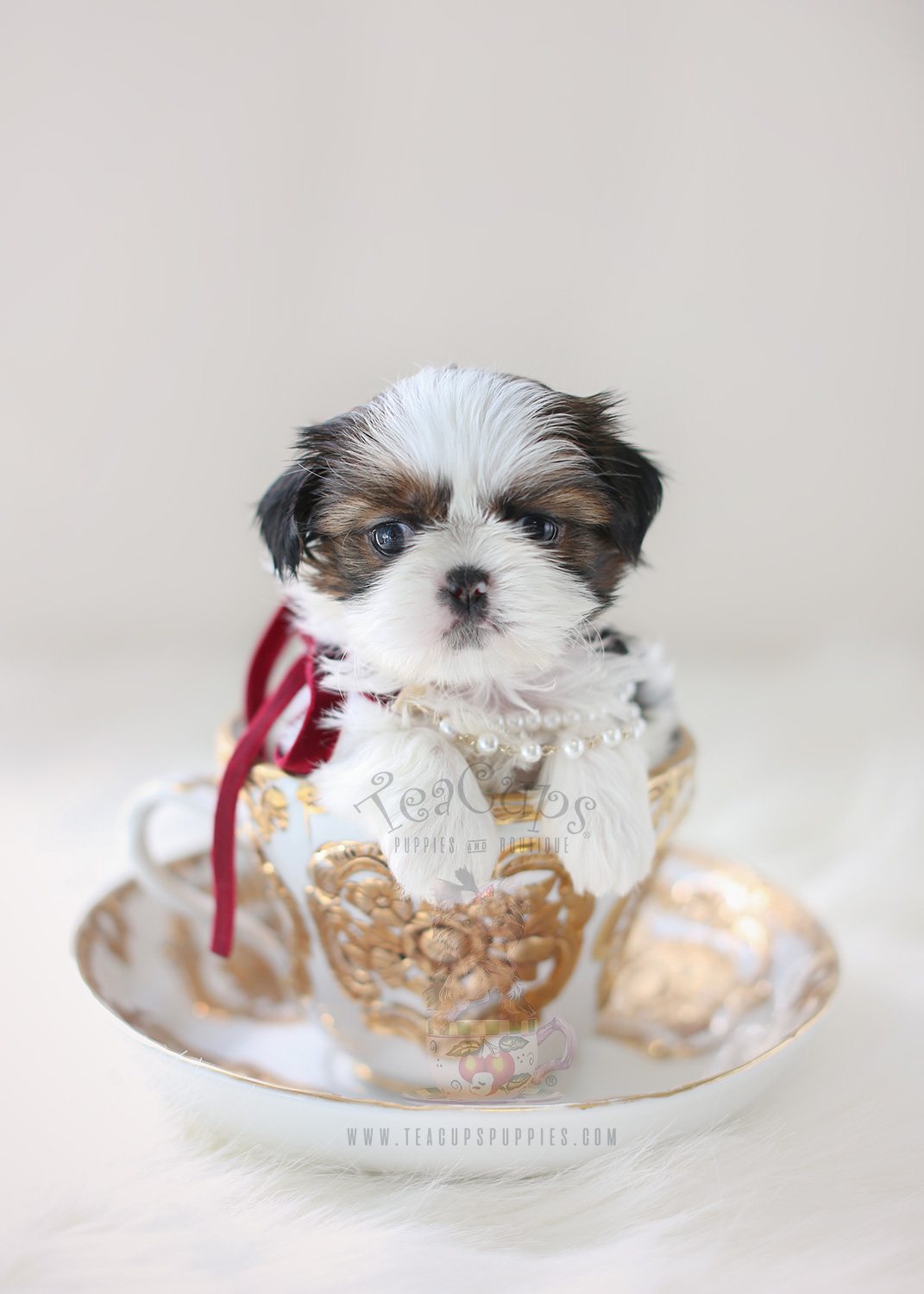teacup shih tzu adults chocolate and white shih tzu puppies for sale by teacups 7645