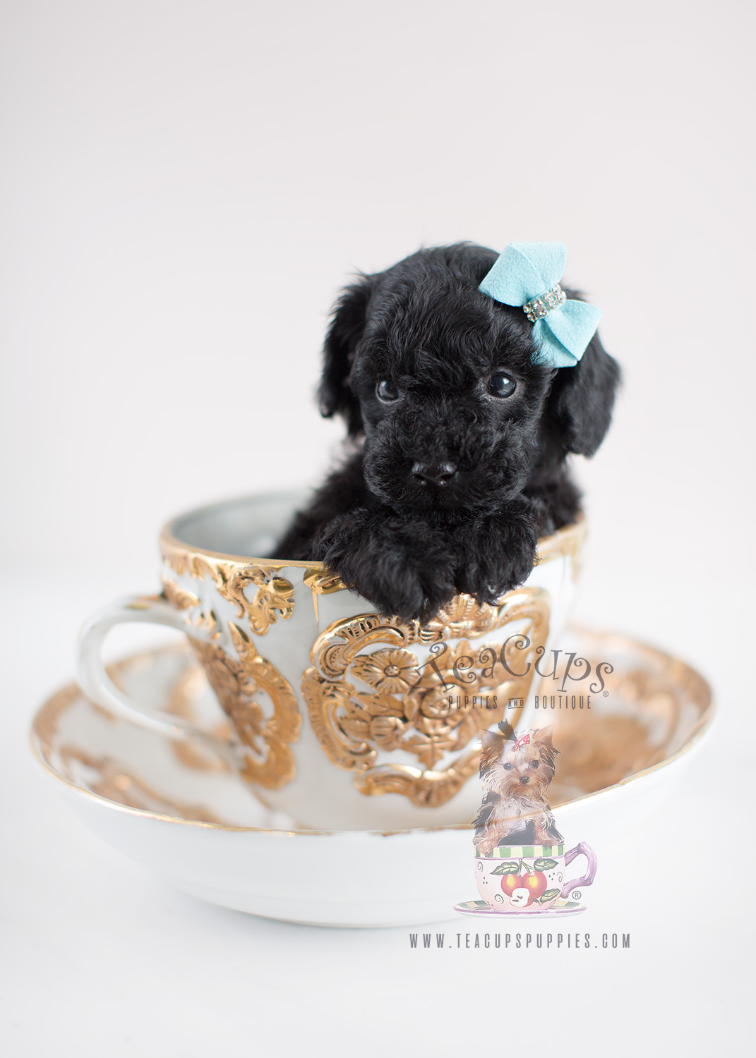 Black Toy Poodle Breeders In Florida Wow Blog