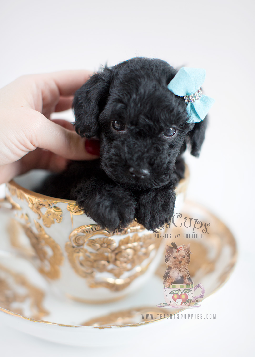 Black Toy Poodle Puppy For Sale Toywalls