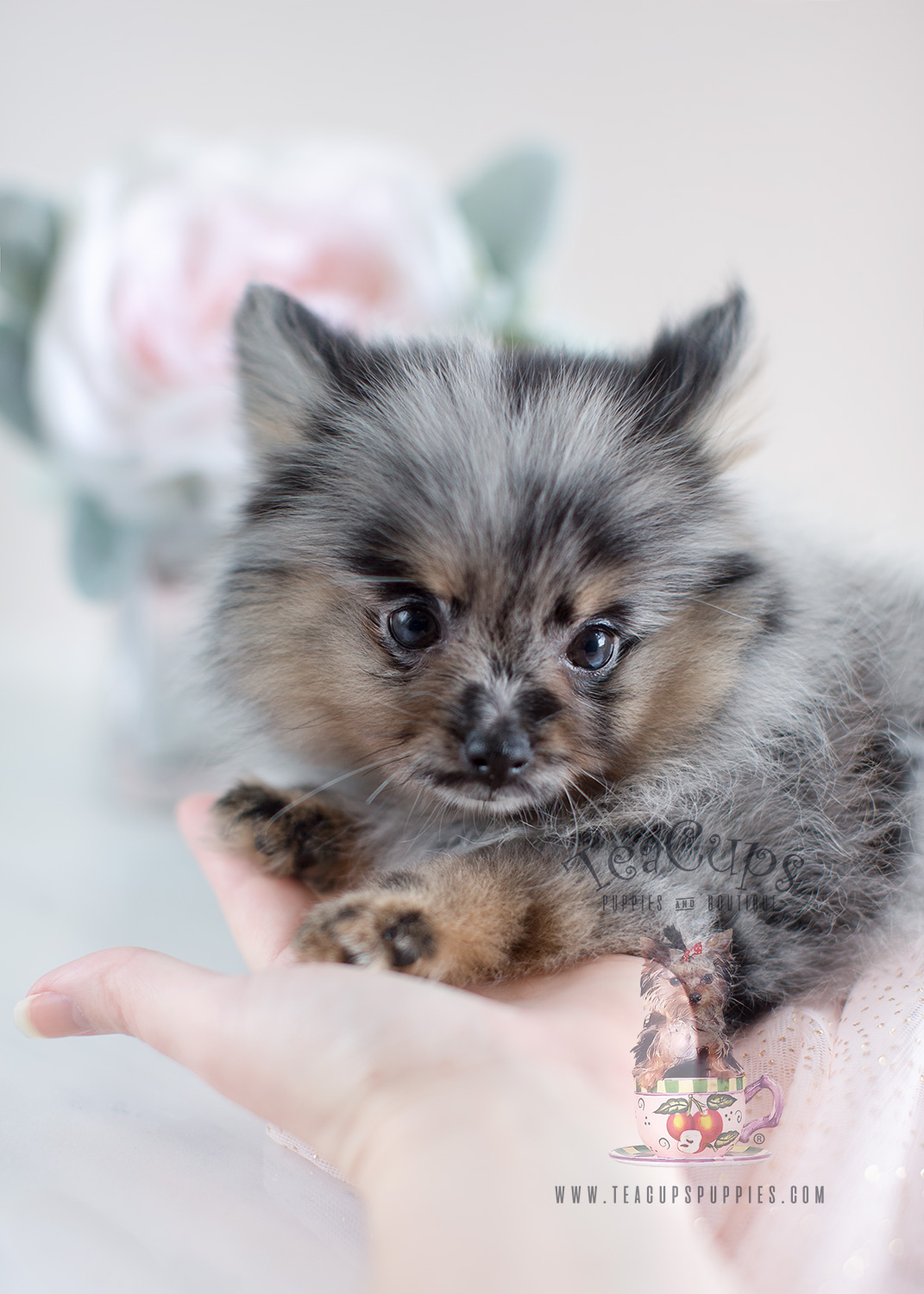 merle pomeranian for sale adorable teacup pomeranian puppies for sale teacups 1562