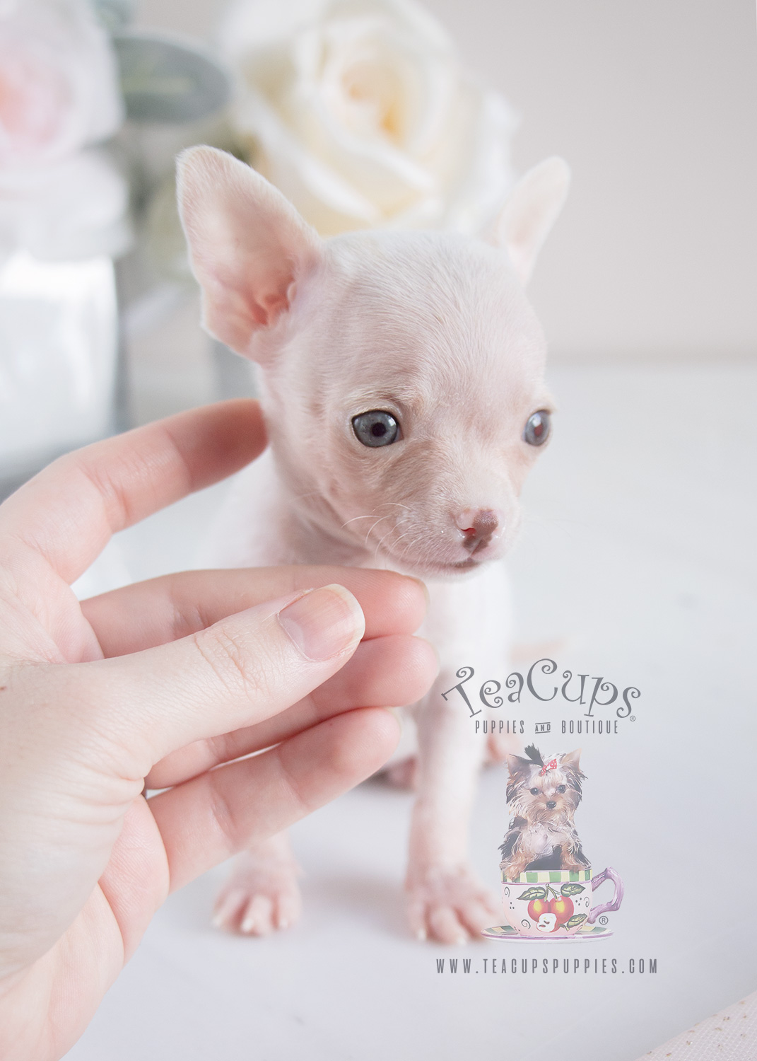 For Sale #069 Teacup Puppies Chihuahua Puppy