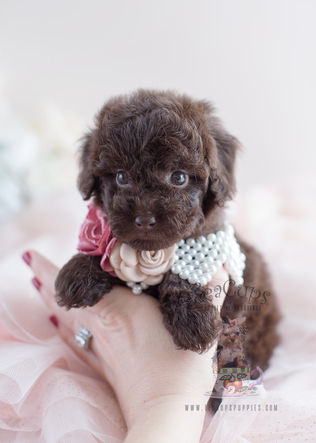 Cream Poodle Puppies For Sale In Florida Teacups Puppies Boutique