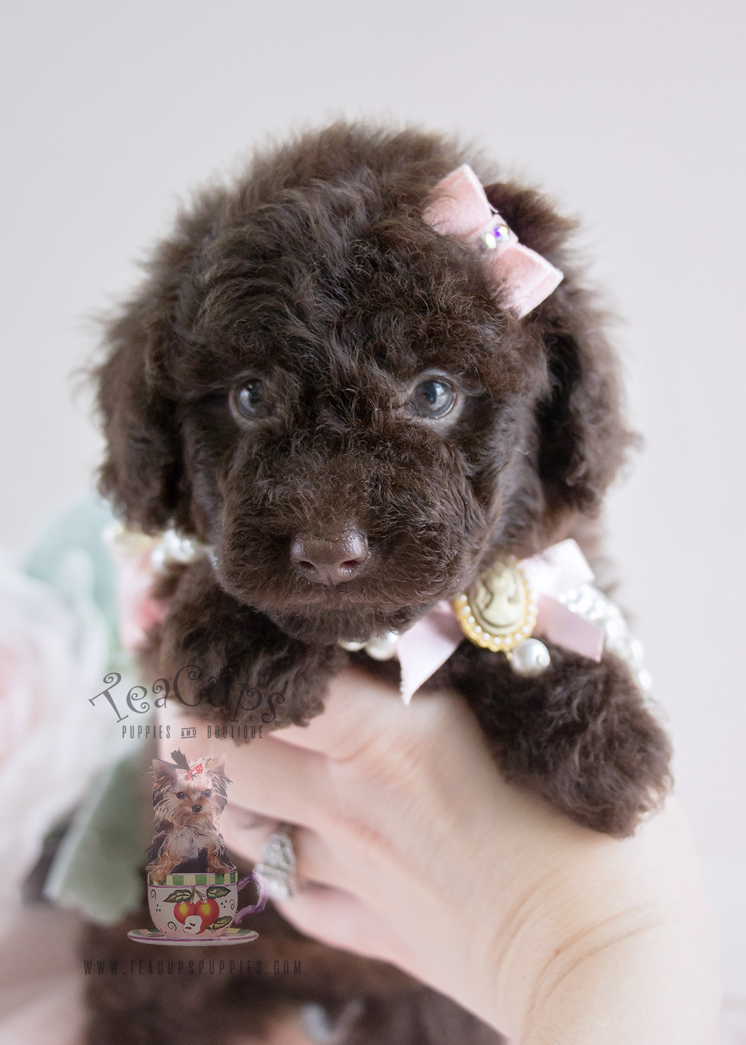 Teacup And Toy Poodle Goldenacresdogscom