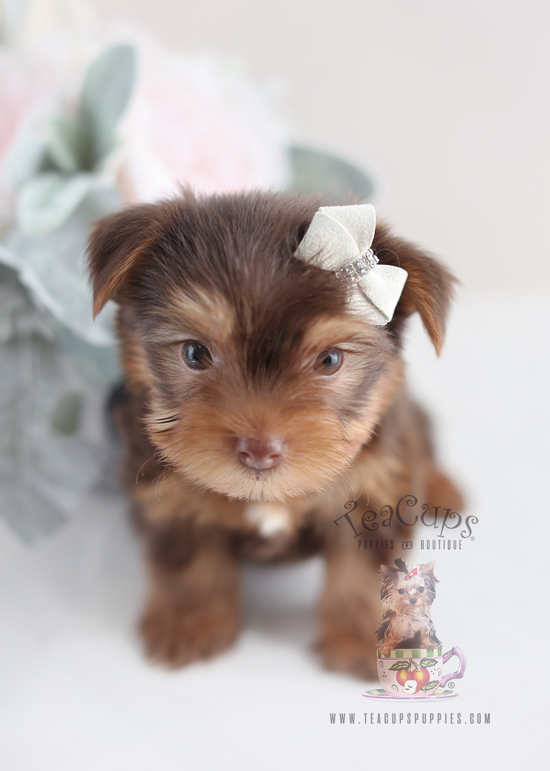 Chocolate Yorkie Puppies For Sale by Teacup Puppies
