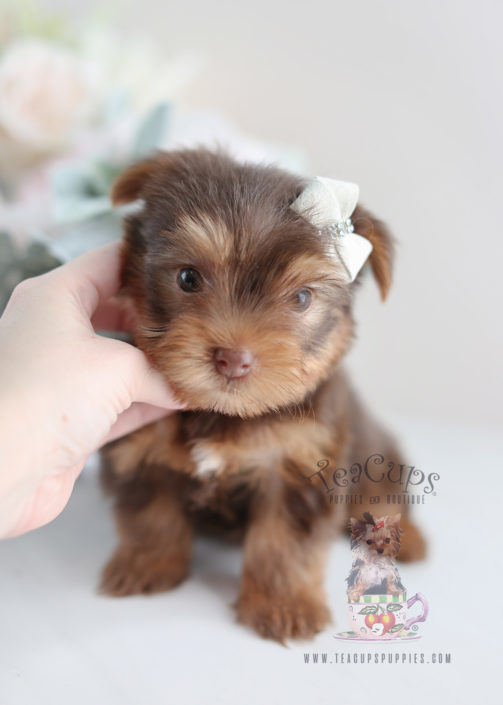 Beautiful Chocolate Yorkie Puppy For Sale #020