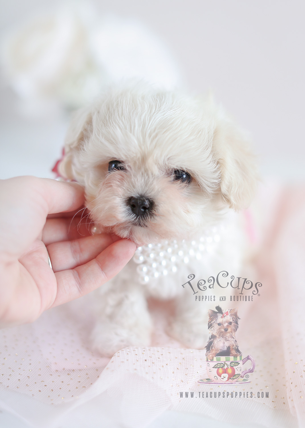 Maltipoo Puppies Teacup Maltipoos For Sale By Teacups Teacup Puppies Boutique
