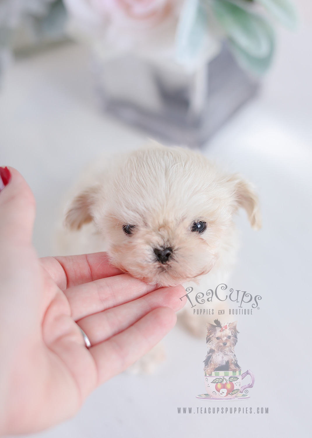 Micro Teacup Puppies Maltipoos For Sale
