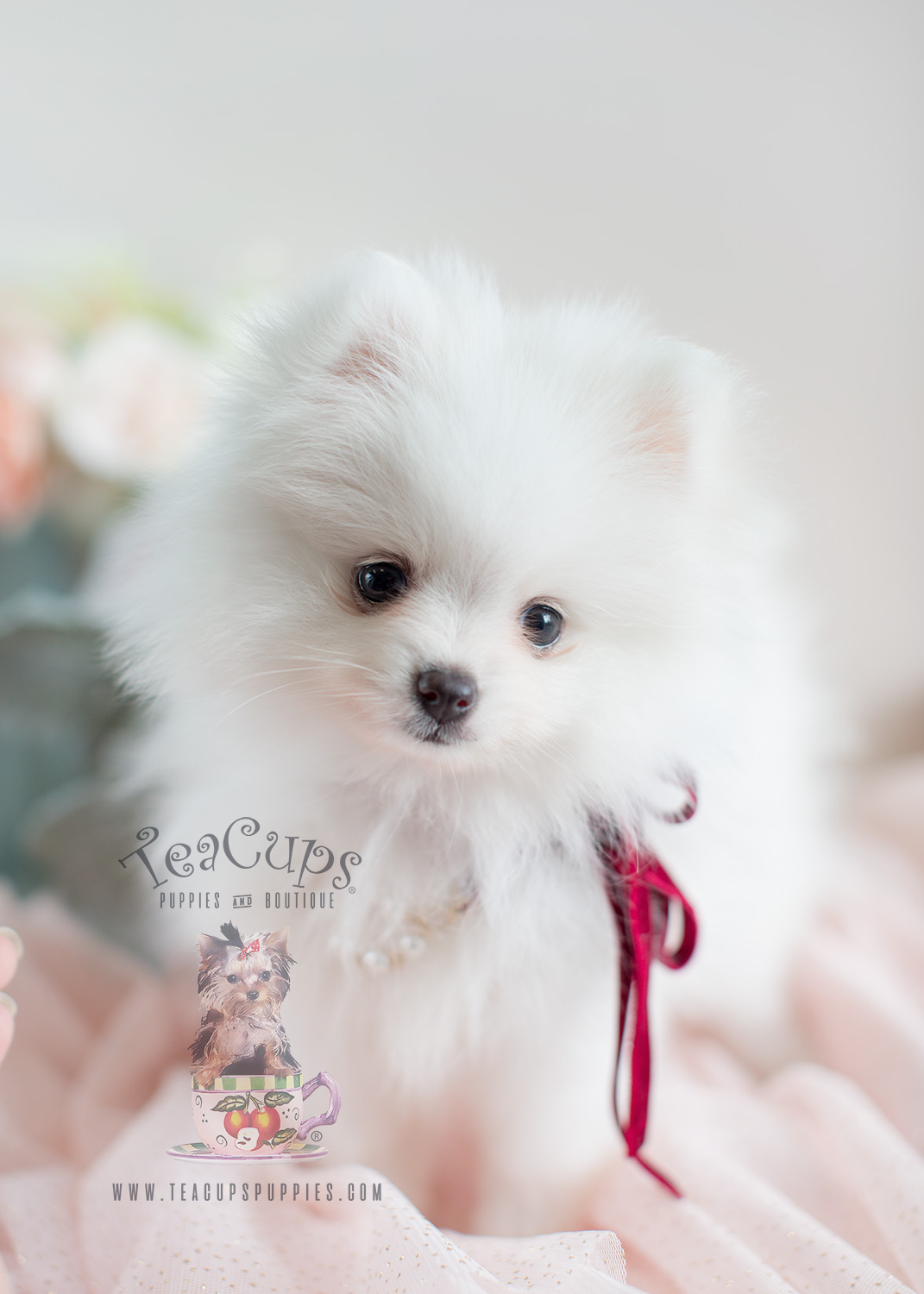 Teacup Puppies and Pomeranians For Sale