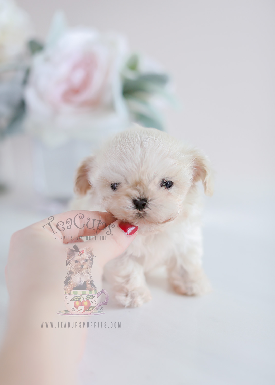 Micro Teacup Maltipoo Puppies