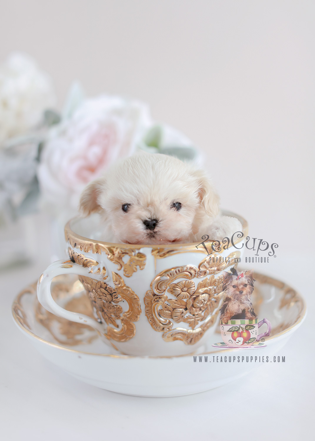 Black Maltese Poodle Designer Breed Puppies Teacups