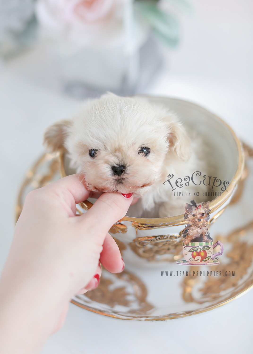 Teacup Maltipoo Puppies For Sale