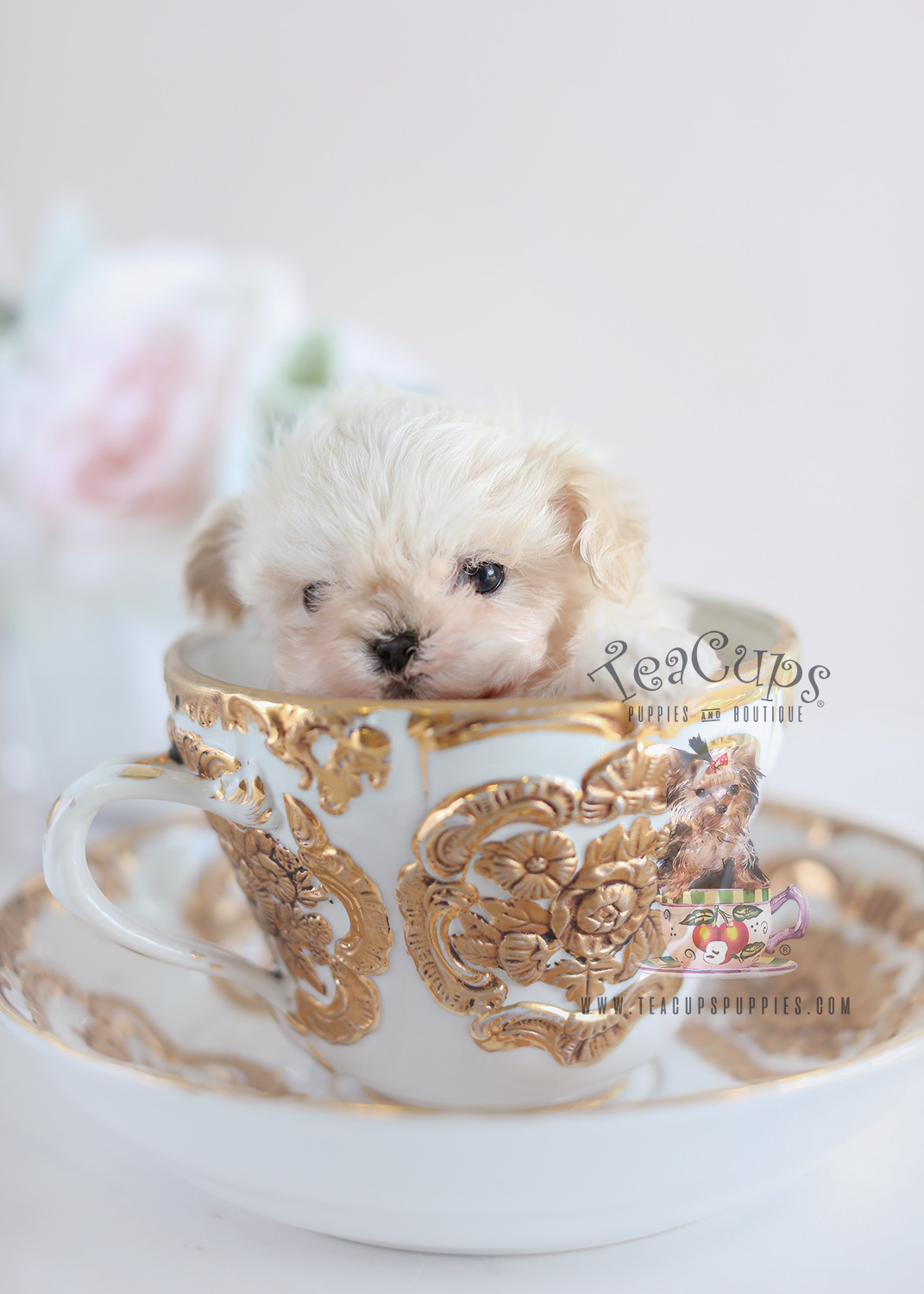 Black Maltese Poodle Designer Breed Puppies | Teacups