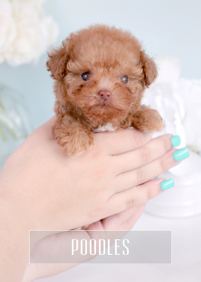 Toy Teacup Puppies For Sale TeaCups, Puppies and Boutique