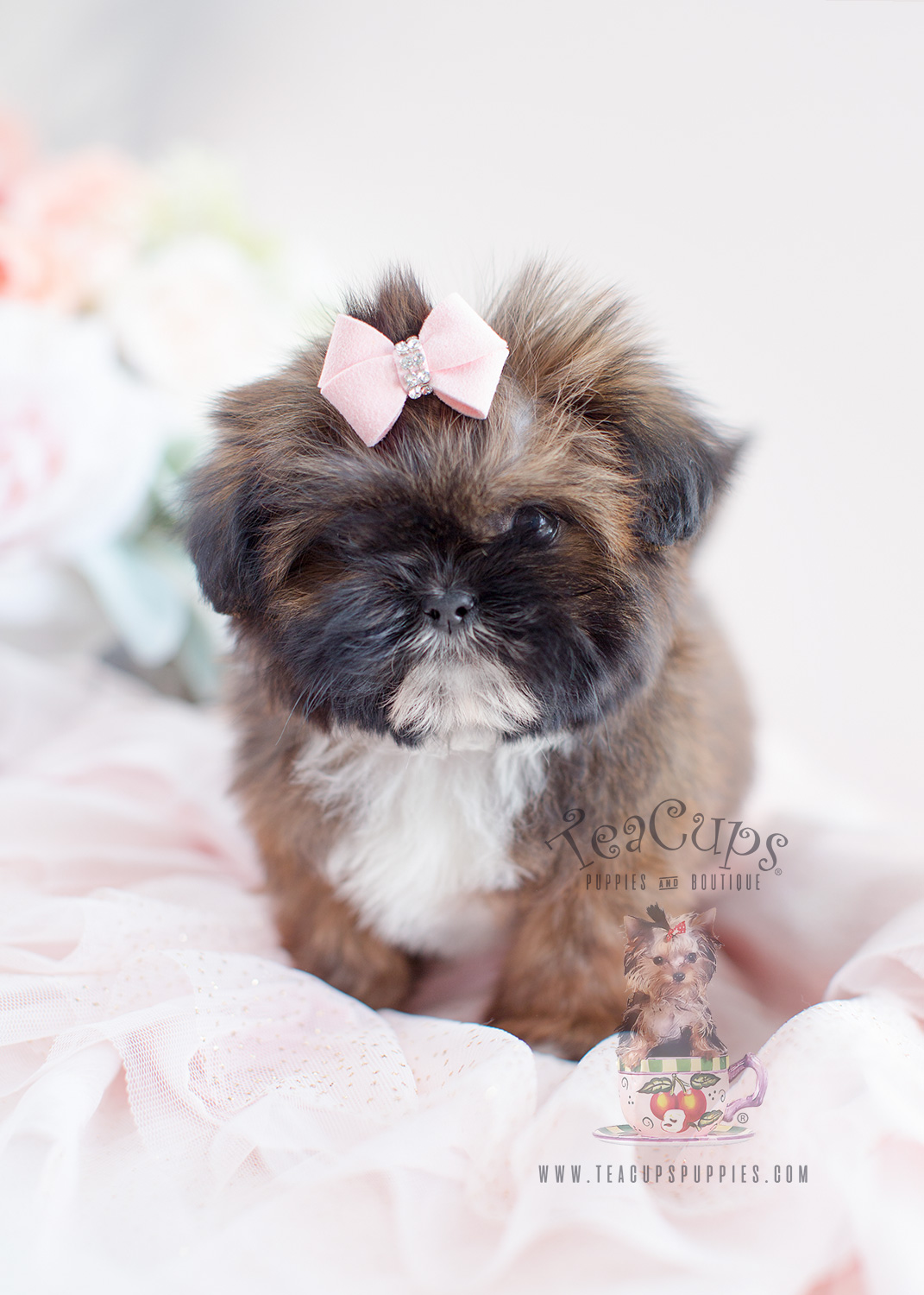 Shih Tzu Puppy For Sale At Teacups Puppies South Florida