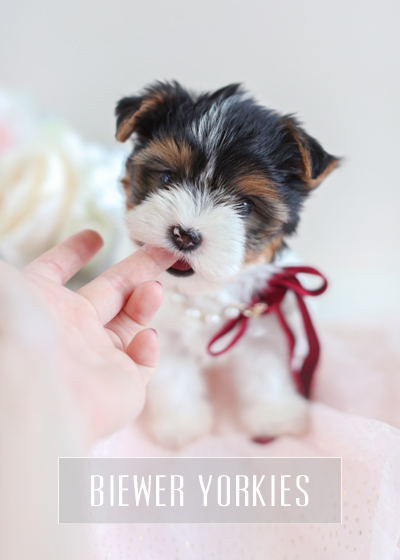 Biewer Yorkies For Sale by TeaCup Puppies & Boutique