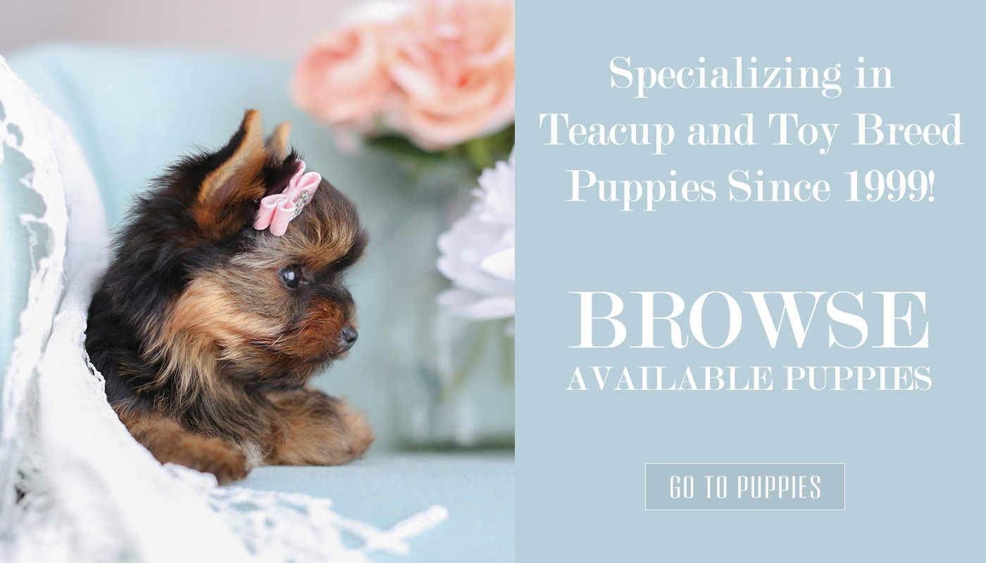 Teacup Yorkies For Sale by Teacup Puppies and Boutique of South Florida