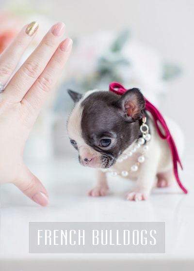 Teacup Puppies: Tiny French Bulldogs For Sale