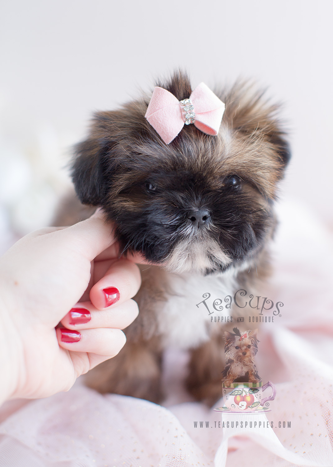 Shih Tzu Puppy For At Teacups