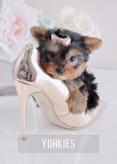 Teacup Yorkies For Sale Teacup Puppies Florida