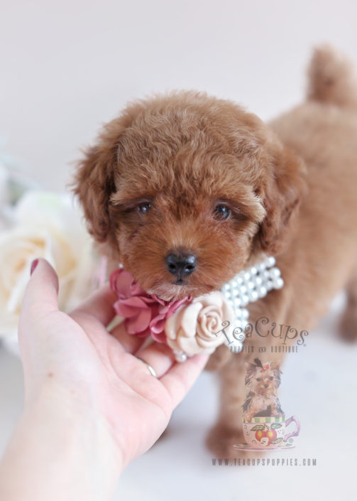Toy Poodle Puppy Dogs : Teacup and toy poodle puppies teacups boutique