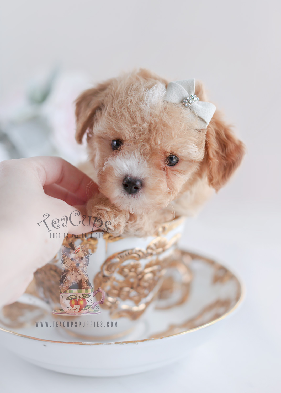 Toy Poodles by Teacup Puppies For Sale
