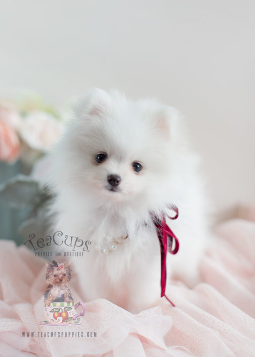 Toy Pomeranians For Sale Teacup Puppies