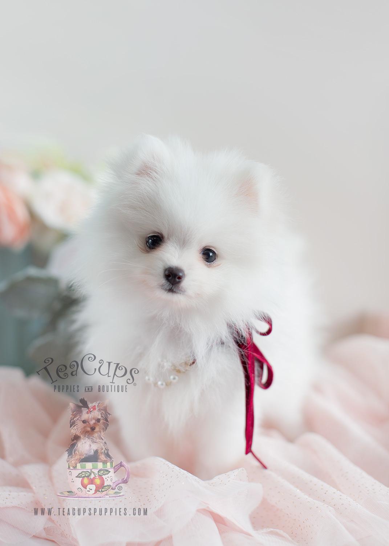Pomeranian Puppies For Sale South Florida Teacups Puppies Boutique