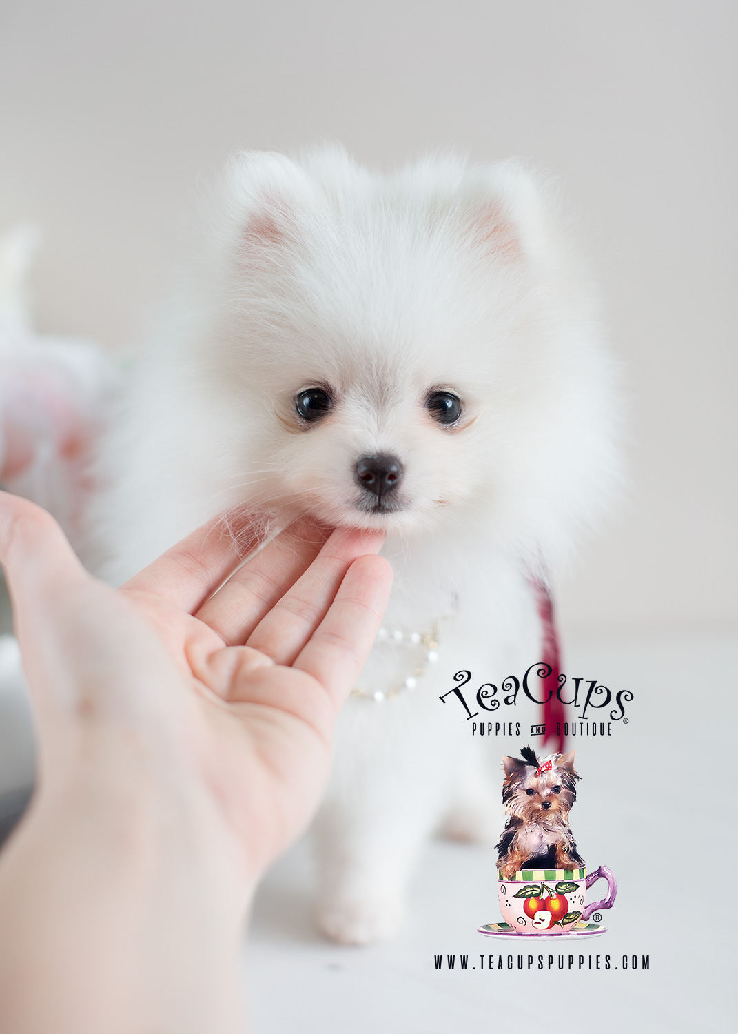 Teacup Pomeranians and Teacup Puppies For Sale