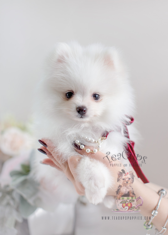Gorgeous White Pomeranian Puppy #033 For Sale