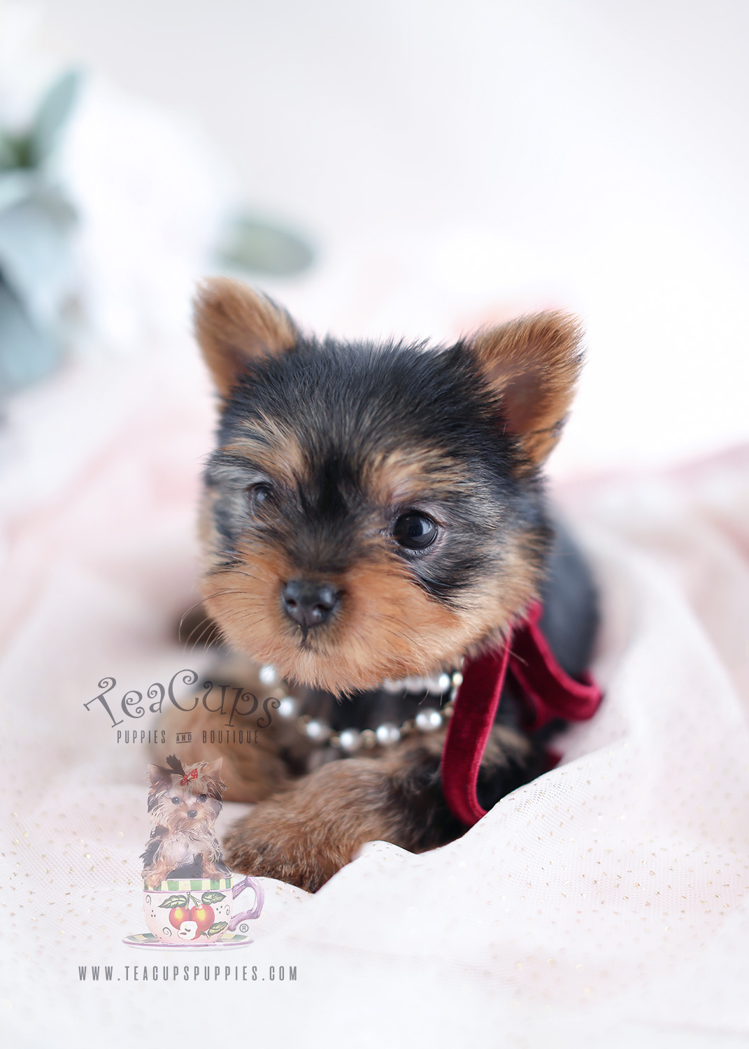 Yorkie Puppies For Sale Teacup Puppies