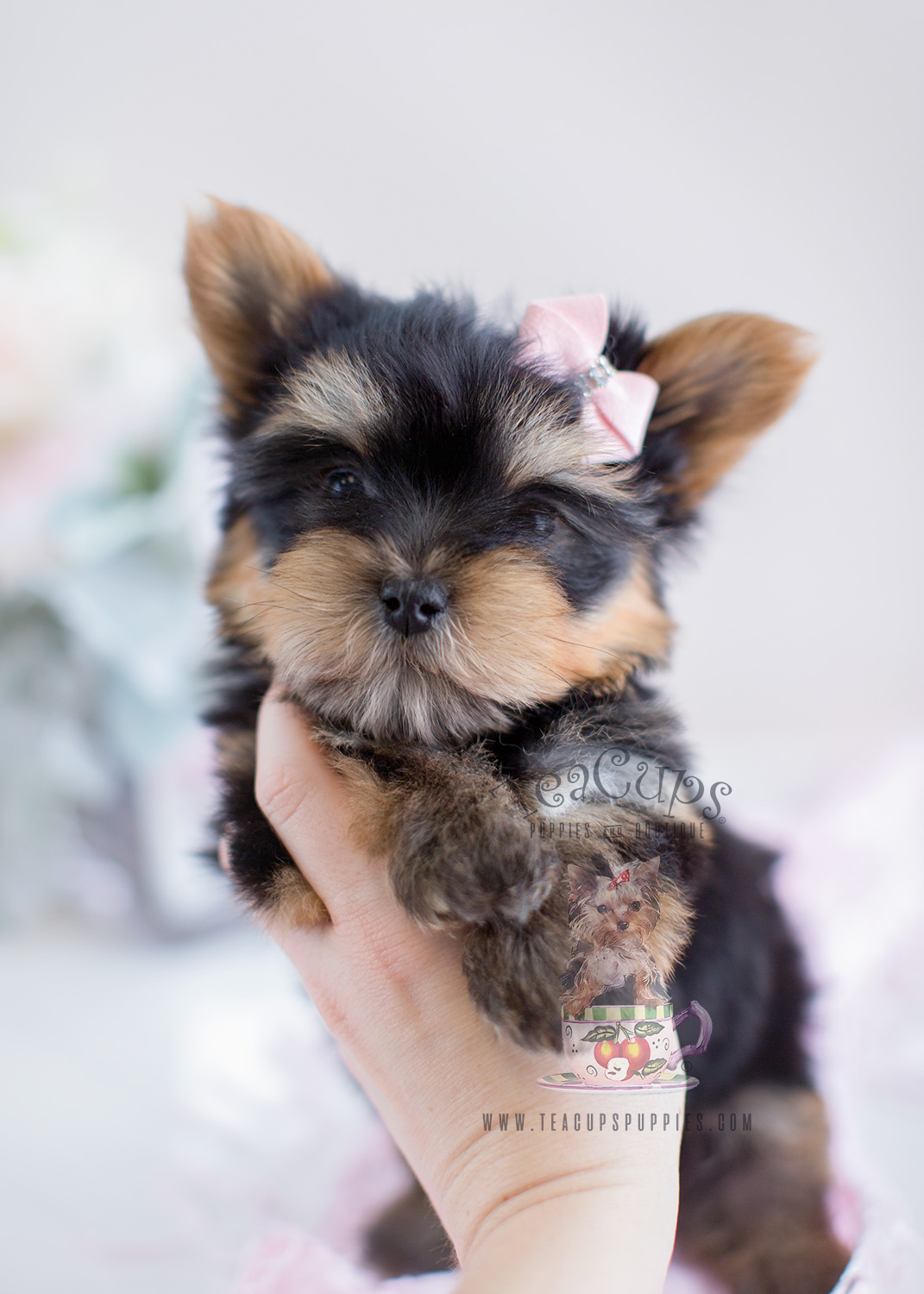 Yorkie Teacup Puppy Boutique