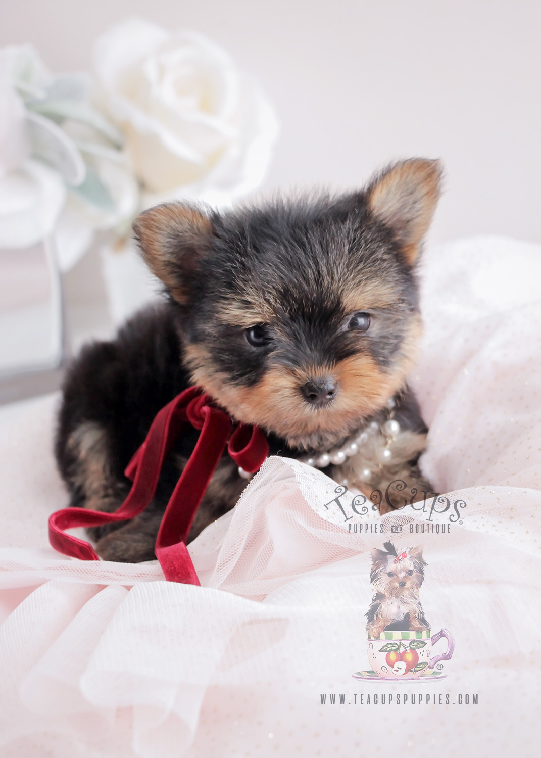 For Sale #063 Teacup Puppies Yorkie Puppy