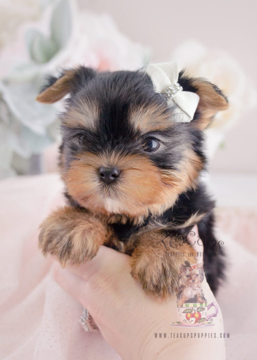 toy or teacup yorkies for sale teacups puppies boutique. Black Bedroom Furniture Sets. Home Design Ideas