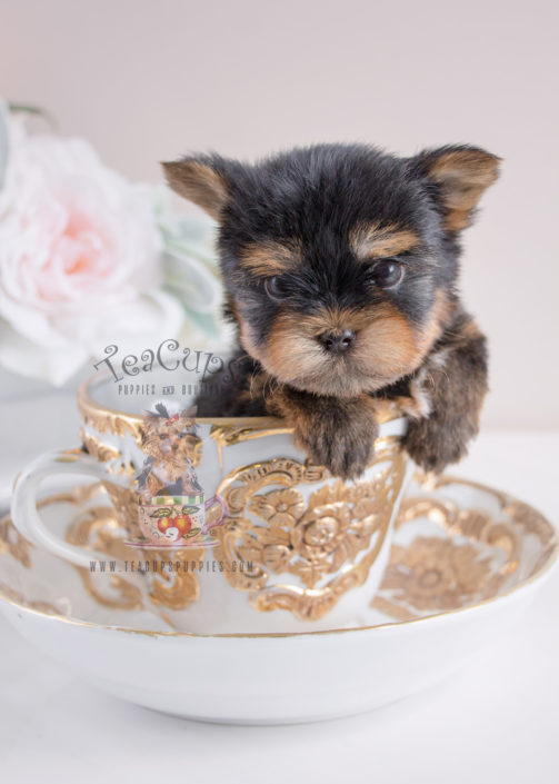 For Sale #067 Teacup Puppies Yorkie Puppy