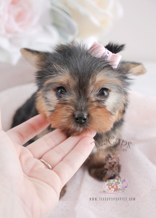 Image Result For Yorkshire Terrier Puppies For Sale