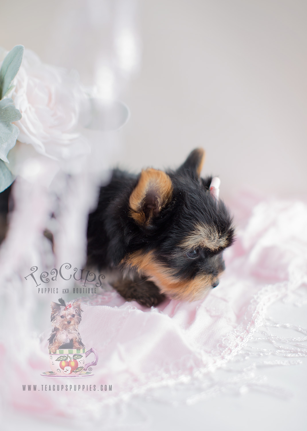 Teacup Puppy Boutique Yorkie For Sale