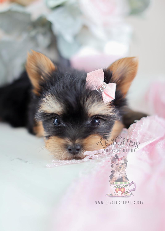 Yorkie Puppy Sale