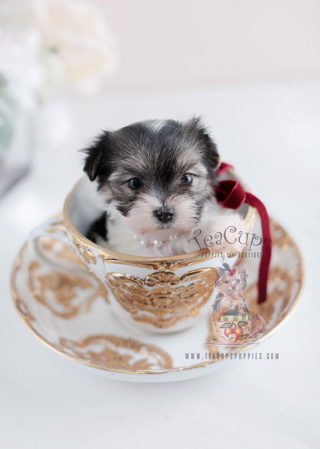 Biewer Terrier Puppies For