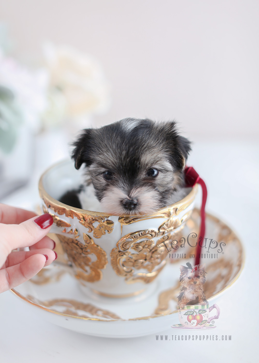 Biewer Terrier Puppies For Sale Teacups Puppies Amp Boutique