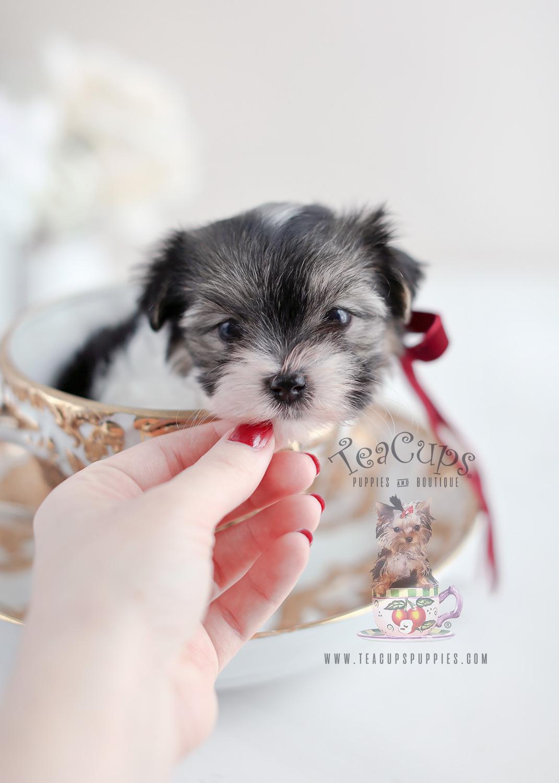 Biewer Yorkie Terrier Puppy For Sale #072 Teacup Puppies