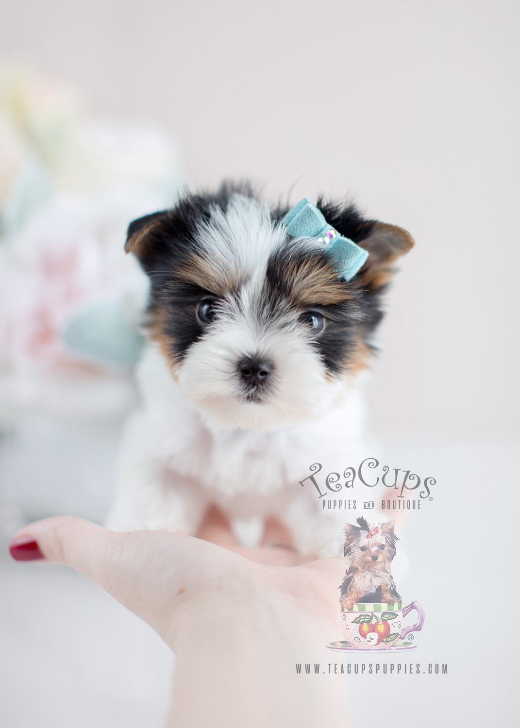 For Sale #075 Teacup Puppies Biewer Yorkie Puppy