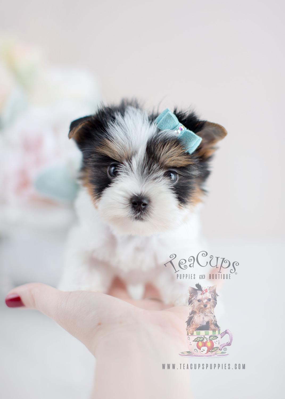 Biewer Yorkie Terrier Puppies For Sale Teacups Puppies