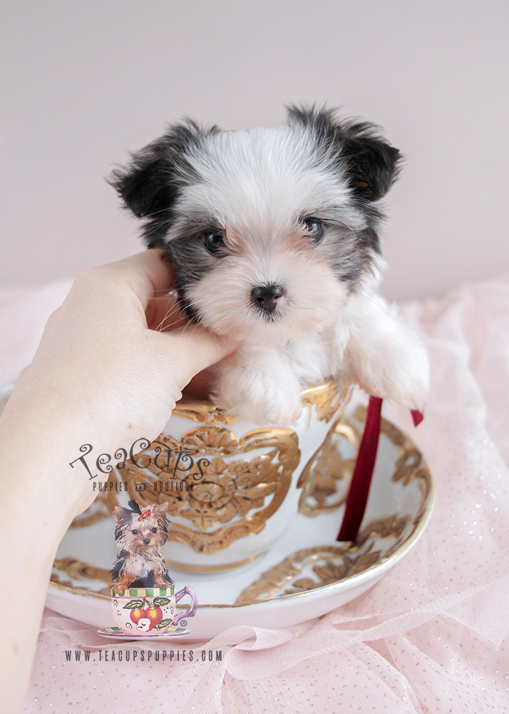 For Sale #079 Teacup Puppies Biewer Yorkie Puppy