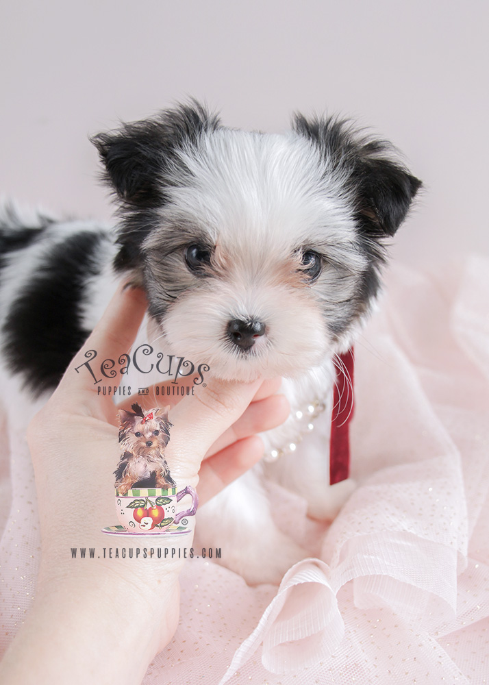 Biewer Yorkie Puppy For Sale #079 Teacup Puppies