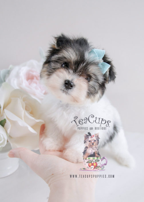 Puppy For Sale #080 Teacup Puppies Biewer Yorkie