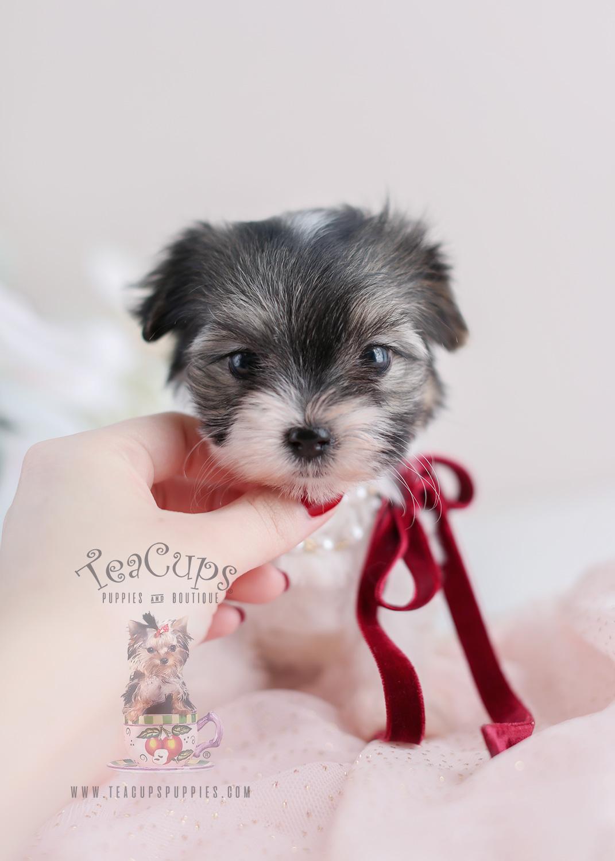 Terrier Puppy For Sale #072 Teacup Puppies Biewer Yorkie
