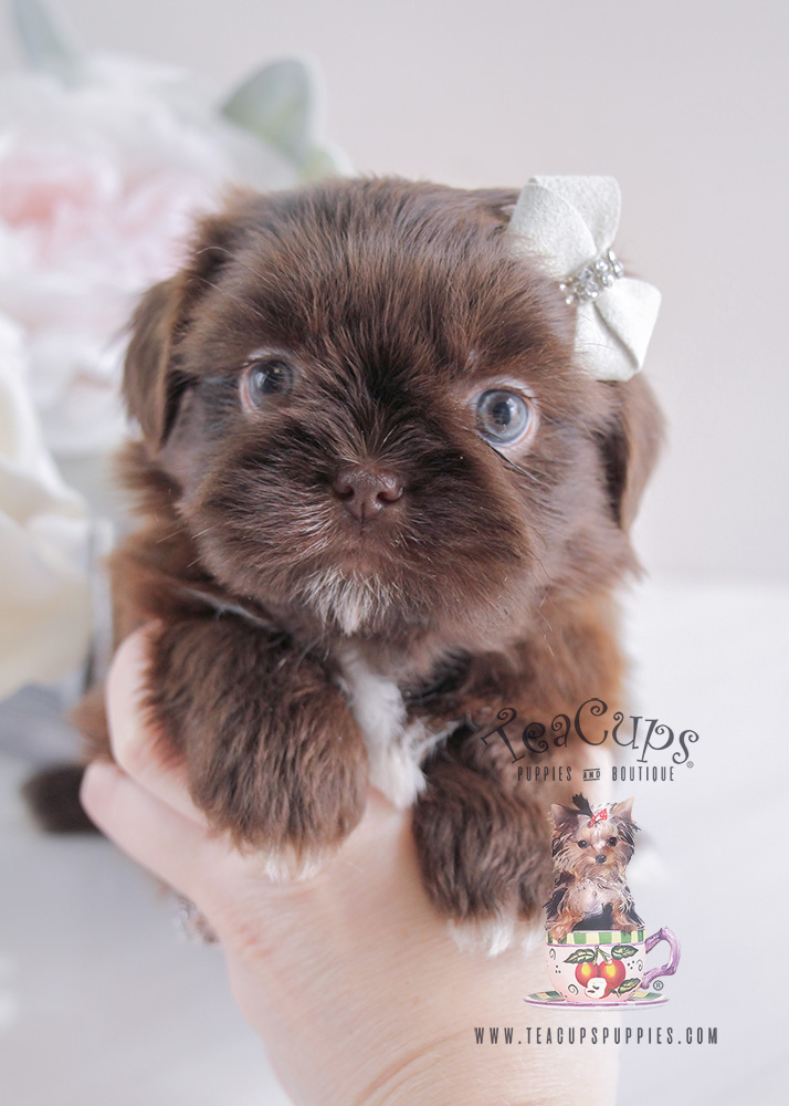 Shih Tzu Puppy For Sale #088 South Florida Chocolate