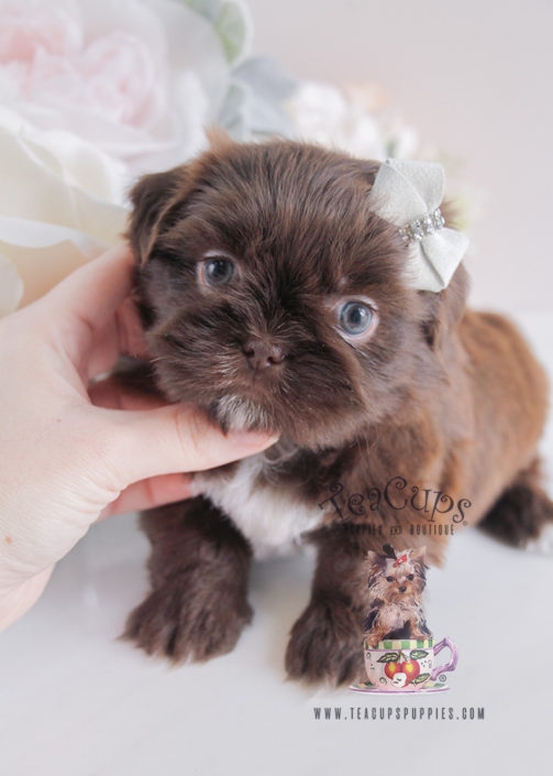 teacup shih tzu for sale imperial shih tzu puppies for sale by teacups puppies 7349