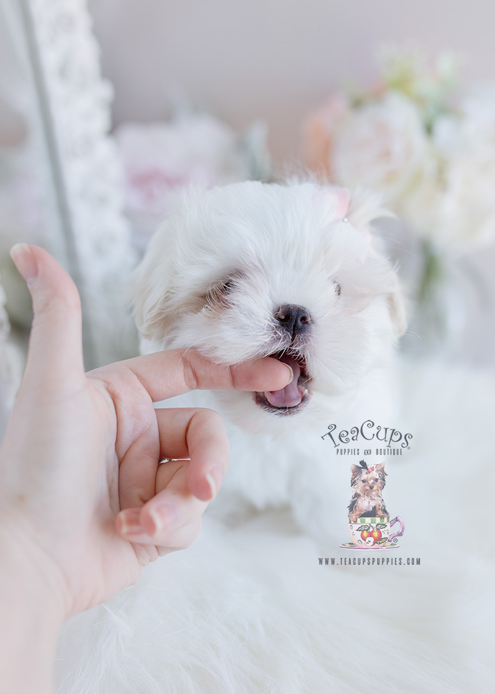 Puppy For Sale #100 TeaCups Puppies Mal-Shi